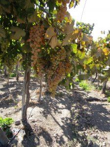 Abb. 4: Köstliche Trauben im Elqui-Tal